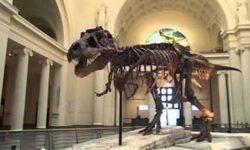 CHICAGO : Via  libera  alla  mostra   della   più  grande    scoperta  mai  realizzata  dall'uomo, ( Sue)  Tyrannosaurus Rex